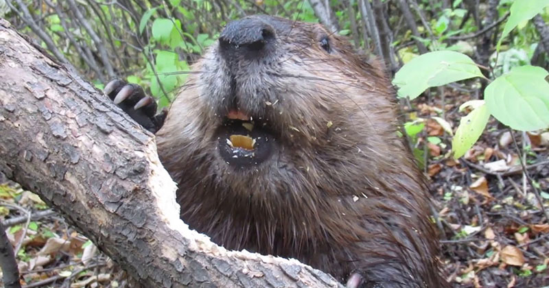 The Methodical Way This Beaver Chews Through This Tree Trunk is Impressive