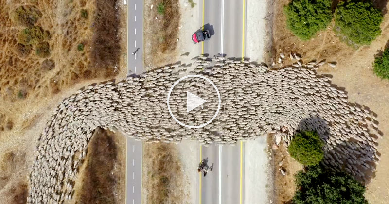 Amazing Timelapse of Sheep Herding from Above
