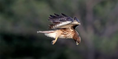 This Video of a Red-Tailed Hawk Hovering in the Wind is Mesmerizing