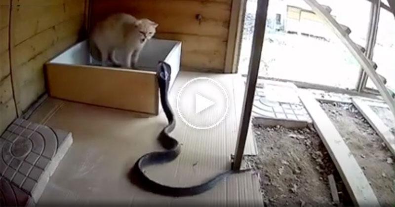 Fearless Cat Fends Off Attacking Cobra in True Cat Fashion