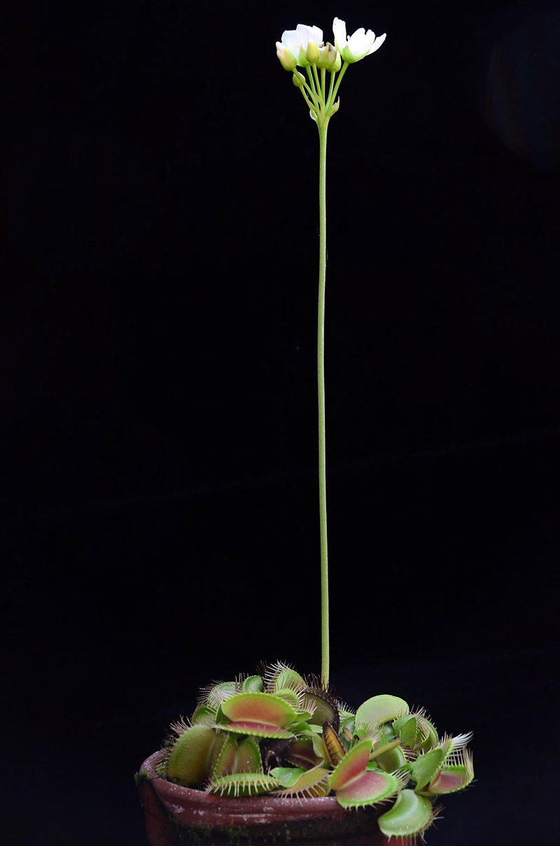 flower of venus fly trap far away high up To Avoid Killing Their Pollinators, Venus Fly Traps Put Their Flowers Far Away