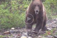 The Amount of Ground this Grizzly Bear Covers in 15 Seconds is Incredible
