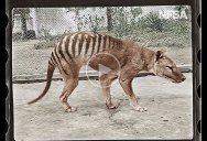 Colorized Footage from 1933 of the Last Known Tasmanian Tiger in the World