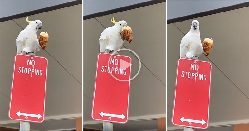 Just a Cockatoo Stopping for His Morning Croissant