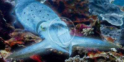 Cuttlefish Hypnotizes Crab with Pulsating Color-Changing Skin