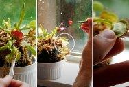 Feeding a Venus Flytrap Candy Instead of Flies