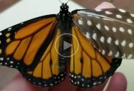 Woman Repairs Butterfly's Broken Wing with Feather