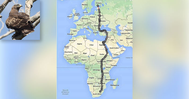 This Amazing Bird Traveled Over 10,000 km in Just 42 Days