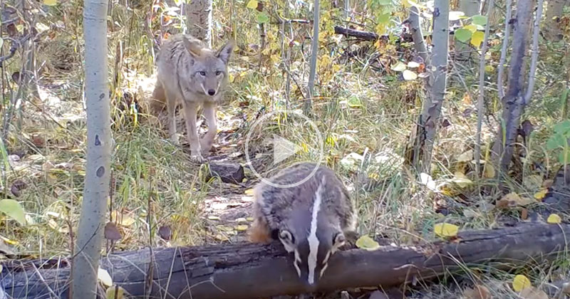 Coyote and Badger Spotted Strolling Through the Forest Together