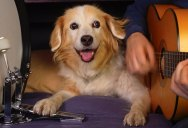 Just In Case You've Never Heard a Dog Drumming to an Acoustic Version of Purple Haze